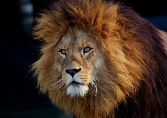 Lion 2018